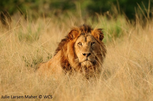 African lion in the wild